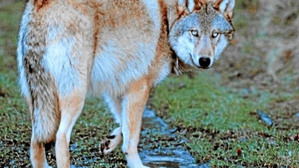 Ulven - skal den have love til at være her? Og hvordan er det som landmand at have en ulv i baghaven? Det drøftes på debatmøde. Foto: Colourbox