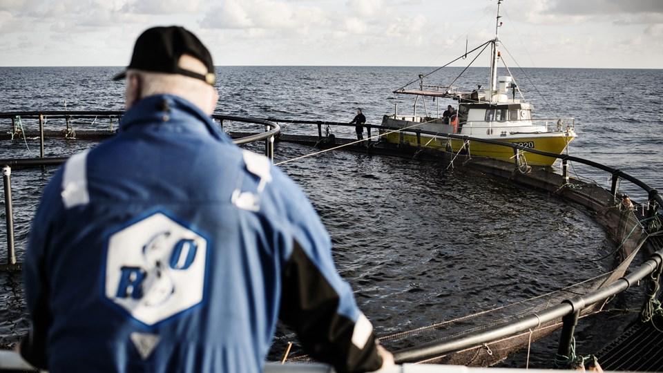 Alle havbrug skal undersøges af statens advokat, Kammeradvokaten. Det har miljø- og fødevareminister Jakob Ellemann-Jensen (V) bestemt, efter afdækning af, at Hjarnø Havbrug har opdrættet sølvlaks uden tilladelse. Foto: Simon Læssøe/Ritzau Scanpix