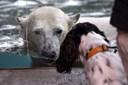 En vinterferie dag i Zoo: Hvem ved egentlig, hvor en isbjørn er mest lykkelig?