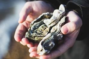 Limfjordens frugter: Pluk dine egne østers