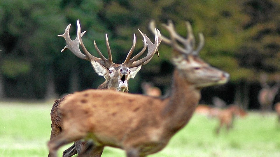 Pladshjort jager mindre hjort væk. Fotograf Jan Skriver