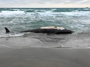Død hval fundet på stranden i Skagen