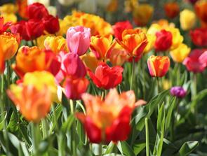 Køb flotte blomster efter årstiden hos lokal blomsterhandler i Frederikshavn