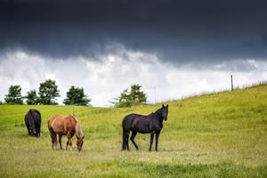 Hesteherpes skræmmer i flere rideklubber: BRRK holder følskue alligevel