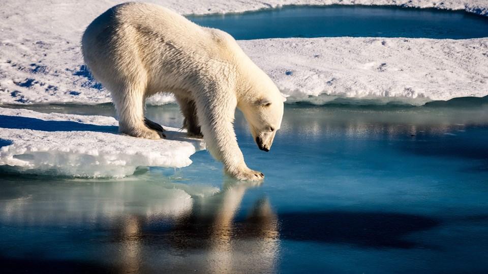 Isbjørn i Nordgrønland. Hvis det ikke lykkes at holde stigningen i den globale opvarmning nede på 1,5 grader, vil Ishavet med stor sandsynlighed smelte om sommeren, siger forskere.