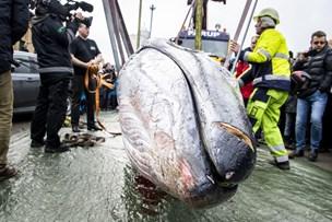 Sikke'n en: Se video og billederne fra hvalens sidste rejse