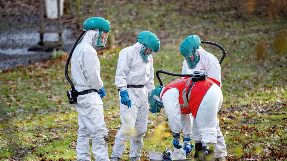Ved fund af fugleinfluenza bliver hele fjerkræbesætningen aflivet, så sygdommen ikke kan sprede sig. Billedet er fra en gård i Skibstrup ved Ålsgårde i Nordsjælland 21. november 2016, hvor der blev konstateret fugleinfluenza i en andebesætning. Arkivfoto: Scanpix/Bax Lindhardt