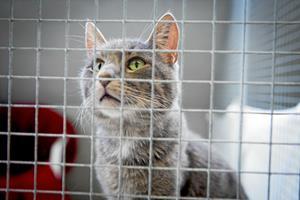 Mis holdt i bur og flået: Skind og knogler fra katte gjorde nytte i Middelalderen