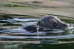 Se videoen: Oceanarium har fået en lille, nyfødt sæl