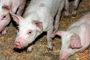Nyfødte smittet med bakterie fra svin