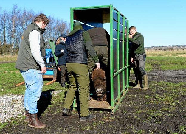 Se billederne: Her flytter de første bisoner fra Randers til Nordjylland