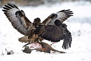 Et liv med fart, død og ødelæggelse: De forhadte rovfugle flyver igen