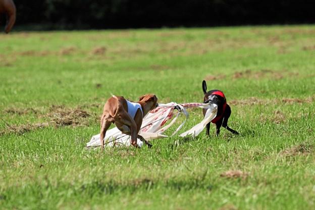 """Hundene skal dyste i lure coursing, som er en form for harejagt. Det er dog ikke rigtige harer, der jages, men plaststrimler. Her er """"haren"""" fanget. Pr-foto"""