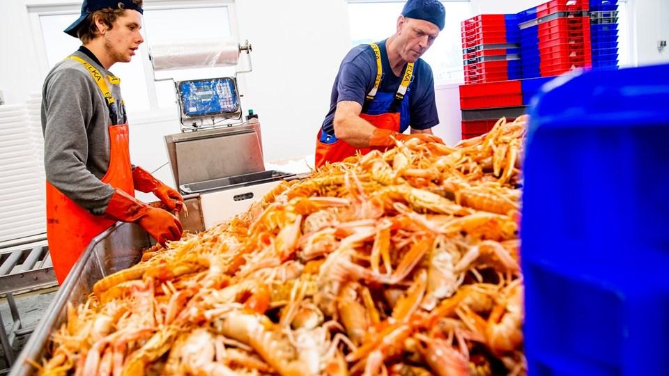 Fonfisk i Hanstholm er en af de virksomheder, der eksporterer friske skaldyr og fisk til Italien. Her  håndteres et stort parti jomfruhummer. Foto: Diana Holm
