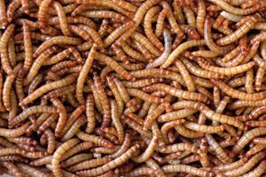 Dansk produktion af insekter kan blive kæmpe forretning