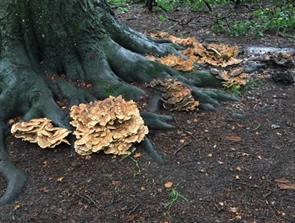 Angrebet af svampe: Kæmpe må lade livet