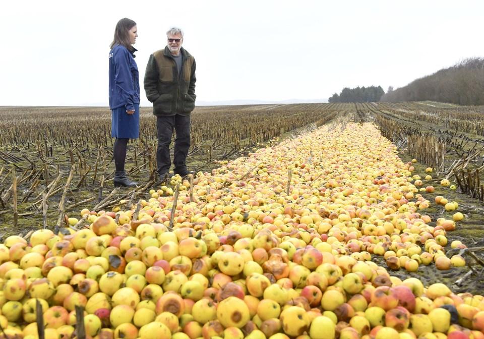Skønne spildte kræfter. Markedskræfter har sendt ellers gode, danske æbler ud for at rådne på en nordjysk mark. Foto: Bente Poder