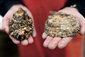 10 syge efter at have spist dårlige østers