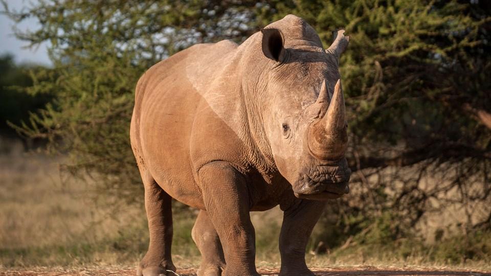 Selv om antallet af dræbte næsehorn falder, går det for langsomt, mener WWF Verdensnaturfonden. Næsehornet her er afbildet i 2015, hvor antallet af dræbte næsehorn var højere. Foto: Scanpix/Stefan Heunis/arkiv