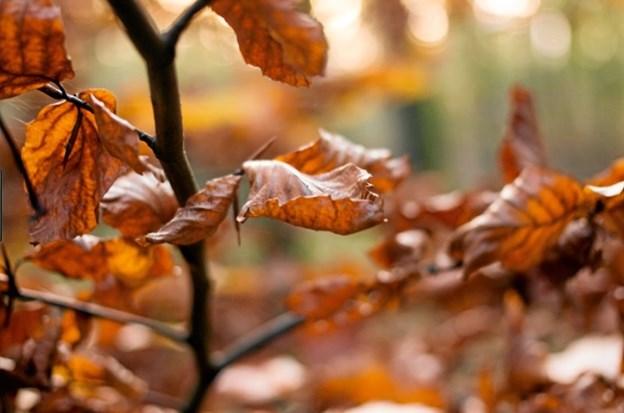 Det iskolde efterår blæser ind over landet - så de sidste guldnede blade blæser af ... Privatfoto.