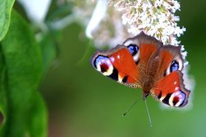 Nordjysk samler afsløret: Politi beslaglagde tusinder af sommerfugle