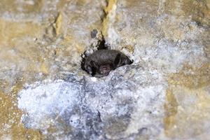 Lås til kælder i Skovdalen brudt op: Forstyrrer fredede flagermus i vinterhi
