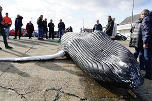 Pukkelhval dissekeres: Biolog leder efter svar på mystisk død