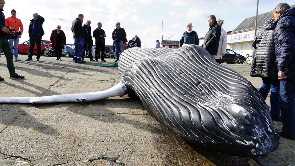 En syv meter lang pukkelhval skal onsdag dissekeres. Den blev fundet mandag i en fiskers bundgarn og blev hevet på land i havnen i Skagen. (Arkivfoto)