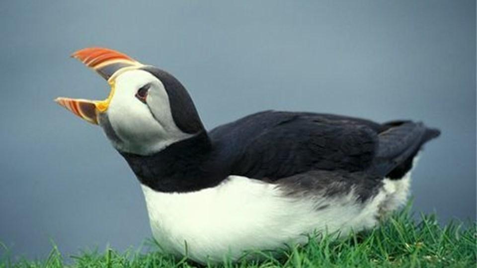 Fuglebestandene i Færøernes fjelde er i så stor tilbagegang, at flere af arterne, der hidtil har været en karakteristisk del af den storslåede færøske natur, er i fare for at dø ud. (Foto: Lars Gejl/Scanpix 2007)