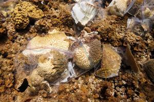 Mystisk sygdom hærger koralrevets byggesten i Caribien