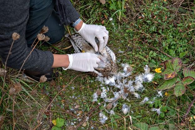 Som hvis det var en høne, bliver fjerene plukket af, så tårnfalkens bryst er bart og til at skære i.