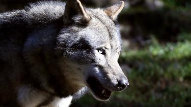 Mand troede han var bidt af ulv: Viste sig at være en hund