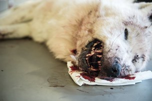 Vestjyske ulvehvalpe er enten udvandret eller døde
