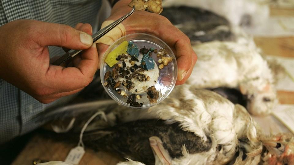 Frivillige holder øje med døde mallemukker langs den jyske vestkyst i bestræbelser på at kortlægge omfanget af plastikforurening i havmiljøet. Billedet her viser indholdet af plastik fra en enkelt fugl. (Arkivfoto).