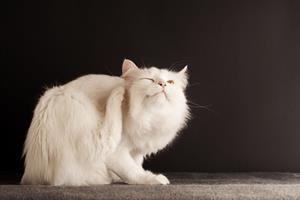 Brug ikke hundes loppemidler til katten