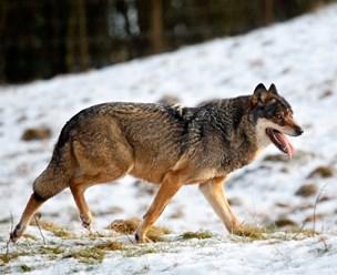 Tre ulve bag 11 angreb på husdyr