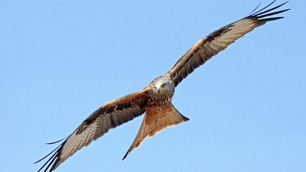 Nye drab på danske rovfugle med ulovlig gift