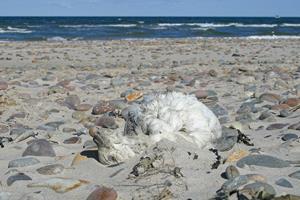 Døde havfugle i Skagen har plastikaffald i maven