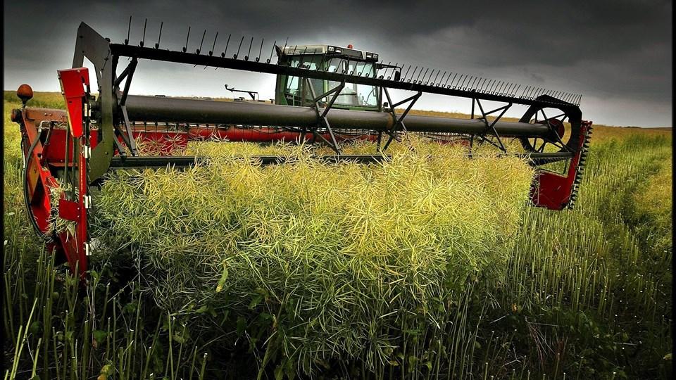 Aalborg bliver den første kommune i Jylland, der beslutter at omlægge alle kommunalt ejede landbrugsarealer til økologisk drift. Arkivfoto: Lars Pauli
