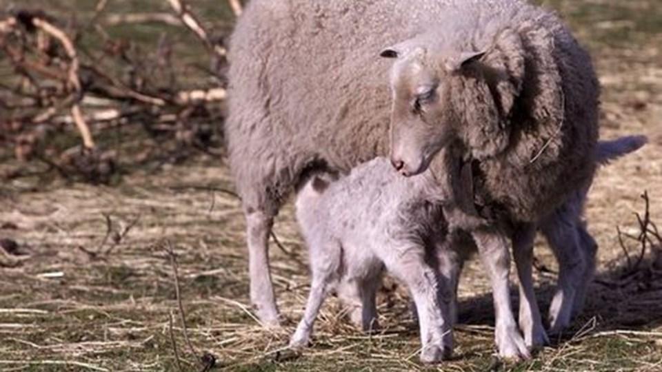 Sygdommen bluetongue rammer oftest får, og under den aktuelle epidemi er der rapporteret om en dødelighed op til 30 procent. Derimod er sygdommen sjældent dødelig for kvæg.