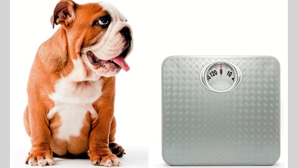Hvis to-tre daglige traveture ikke hjælper på vovsens kampvægt, kan hunde-vægtvogtere måske hjælpe. PR-foto