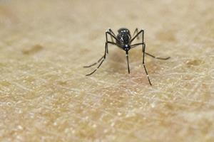 Glem myterne - myg går efter bestemte dufte