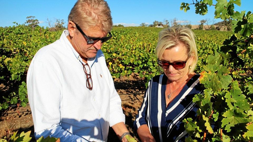 Karsten og Bitten Pedersen inspicerer druerne på deres tre hektar store vinmarker.