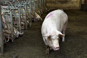 300 kilo svinekød destrueret hos ulovlig slagter i Nordjylland
