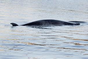 Hvalen i Hobro Havn er fundet død