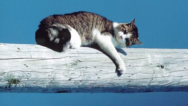 Bortløbet kat genforenet med sin ejer efter syv år