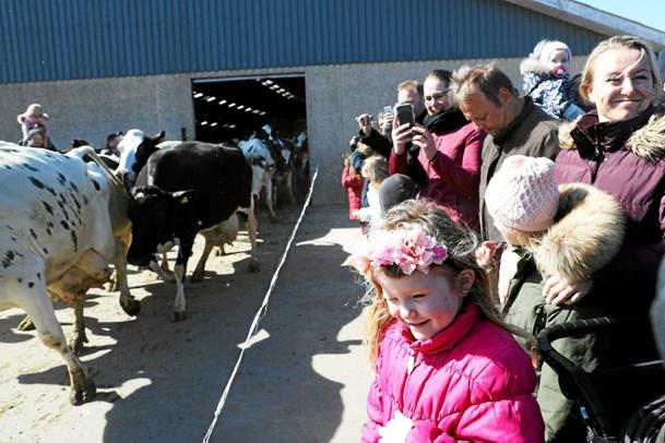 Køerne dansede på engen