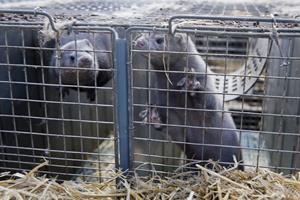 Minkavlere bruger ulovlige insektgifte