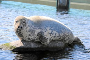 Sæler: En fare eller fryd for naturen
