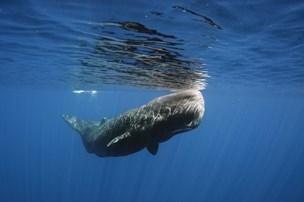 Hvaler: Hvorfor strander de i Nordjylland?